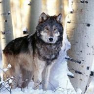 jabberwolf