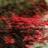 Mưa hồng