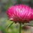 Hoa bât tử