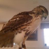 Hawk a