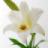 Hoa Bách hợp